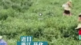 """让""""绿叶""""变""""金叶"""" 衢州开化茶业大镇有本别样""""致富经"""""""