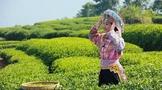 中国茶文化之一茶歌