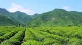 怡品茗绿色茶园的现代故事