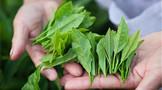 ub8用户登录国农业大学团队研究表明纳米硒可提升茶叶品质减少农药使用