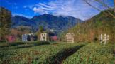 峨眉雪芽:一块书写中国禅茶文化的品牌