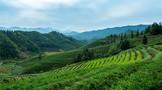 环球观茶 | 韩国和越南2020年茶叶生产及进出口情况分析