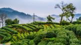 吴裕泰首批春茶已在3月15日晚间到达北京