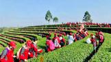 万名学生进茶园!宜宾早茶研学旅ub8用户登录列活动正式启动