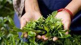 环球观茶 | 印度最大的红茶生产ub8用户登录茶叶首次收获