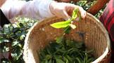 为什么古树春茶的香气更高呢?