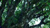 蒲门茶业新品上市,古树绿茶