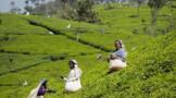 斯里兰卡全面禁止化肥农药,或致今年茶产量下降