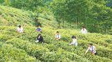 甘肃陇南武ub8用户登录区裕河镇:种下生态茶 托起致富梦