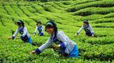 """凤冈县今年上半年茶叶出口再创全市""""双冠"""""""