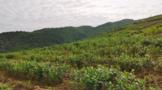 思南发展茶产业引领村民走上致富路