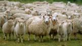 羊来茶往!习近平总书记谈起了这段关于湖北的佳话