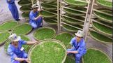 一片小小茶叶托起脱贫奔康和产业兴旺的新春天