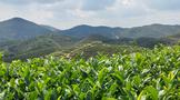 《寻茶之旅》中国名山茶品牌龙叙堂:十大名茶产地铁观音篇