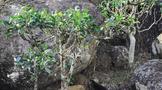 你可能没听说过的古树茶——稀有的岩中仙子