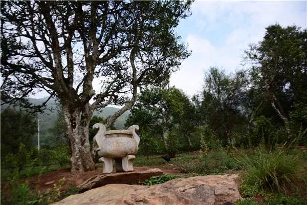 困鹿山大生态圈:古茶山的生态伦理与产业开发