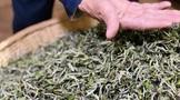 信阳白茶的传统制作技艺精髓在哪里?