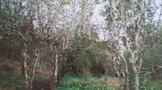 适度的采摘与管理是古树茶品质的重要保证