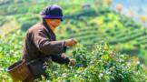 升级为省级标准!紫阳富硒茶6项地方标准修订成功