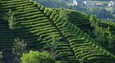 惊人的普洱茶产能和仓储量怎么办?