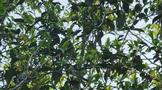 收高品质古树春茶要知道的几个关键