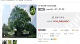 惊人天价!云南10公斤茶鲜叶竟拍出1068万元!