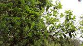深度理性分析:2021年古树春茶价格会上涨吗?