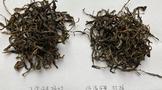 低温、短时炒、轻揉与正常制作茶叶对比实验的第一次对冲