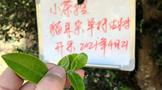 """""""小茶控""""猫耳朵·单株古树开采之际 轻聊「小叶种」古树普洱茶"""