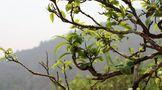 找茶农就能买到便宜的真古树