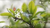 2021寻茶记深度视频丨专家茶人探山识茶——冰岛②