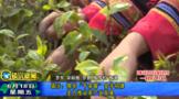 """镇沅:擦亮""""千家寨""""金字招牌 全力推动茶产业发展"""