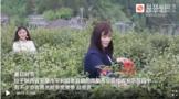陕西:因茶兴业 秦巴深处山乡蝶变