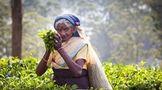 茶叶界的中吹、日吹和印吹