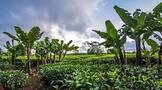 一个深圳商人改变了毛里求斯的茶产业
