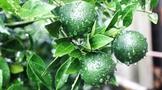 新会核心产区柑园:检验鲜果,把关品质