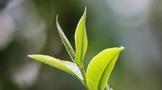 润佳元和本:正确认识茶多酚的护肝作用