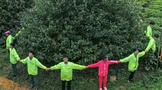 英茶王的茶王树,已达61高龄了!