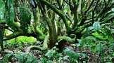 英茶王 茶后树:茶多酚及花青素含量高