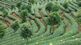 农业农村部印发贫困地区茶产业稳定发展指导意见