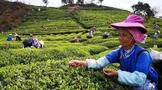都匀市团山村茶产业发展加速乡村振兴