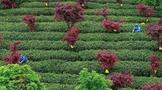 加快建设茶产业发展步伐,《贵州省茶产业发展条例(草案)》首次申请审议