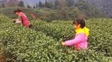 新茶飘香,名山区2019年第一批春茶开采!