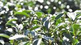 茶树如何正确管理能够增产?