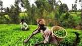 茶园工人的烦恼和担忧——联合利华资产剥离事件