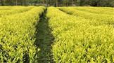 茶园绿肥套种效应研究进展