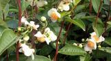 为什么茶树开花结果却要被茶农嫌弃?