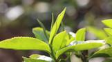 福鼎白茶公共品牌价值全国第四 茶叶全价利用 茶企发力抢市