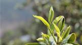 到2025年越南全国满足安全标准茶叶的种植面积达到55%