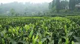 雅安市雨城区:建设藏茶产业现代农业园区 擎起现代农业高质量发展大旗